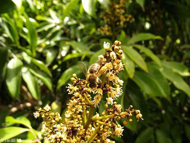 Lychee Flower Litchi c...