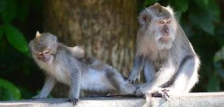 Alas Kedaton sacred monkey forest, places of interest