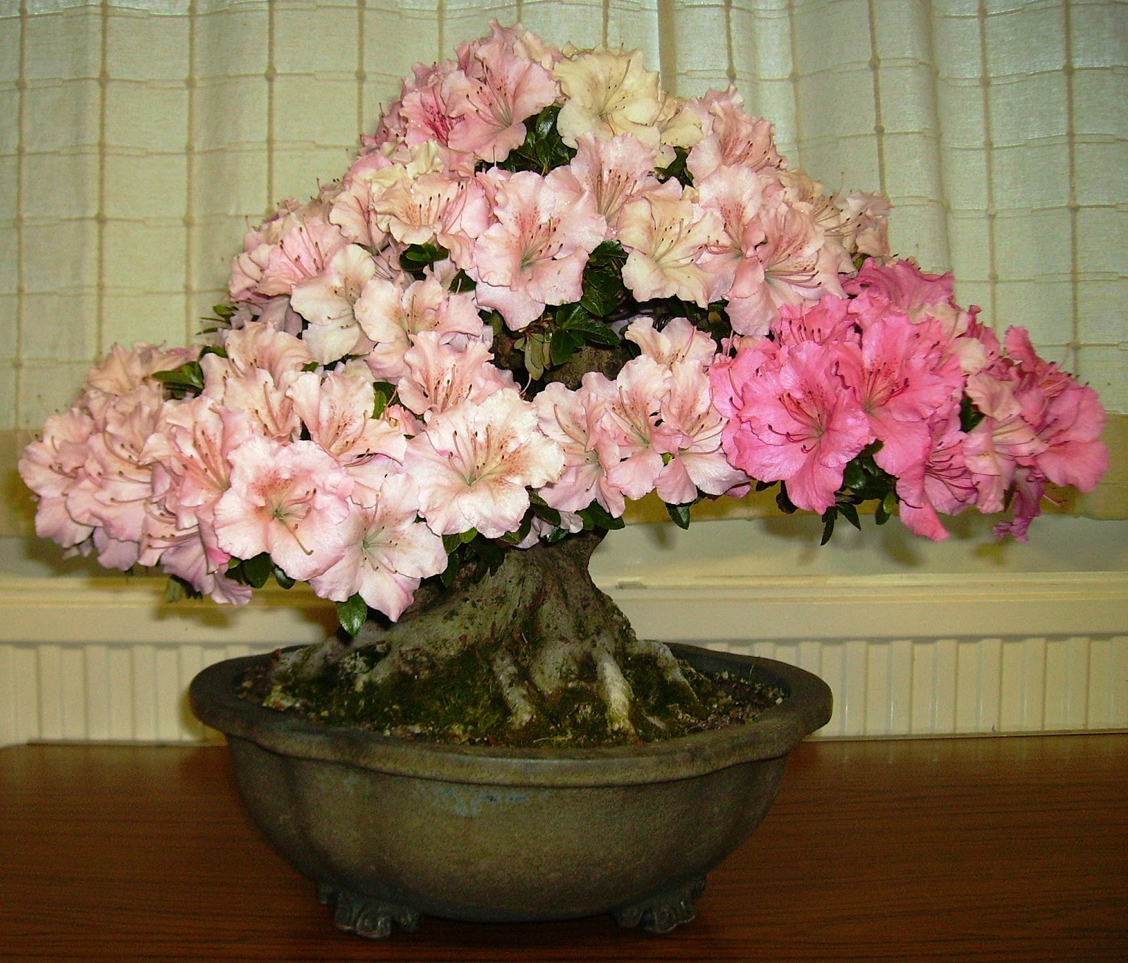 Ashfield Bonsai Club June 2012