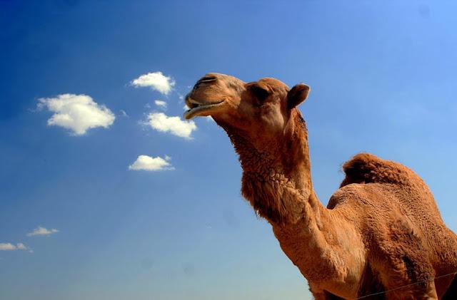 """Noticias insólitas: """"Camellos"""" de última generación: 23 papelinas escondidas en el pene"""