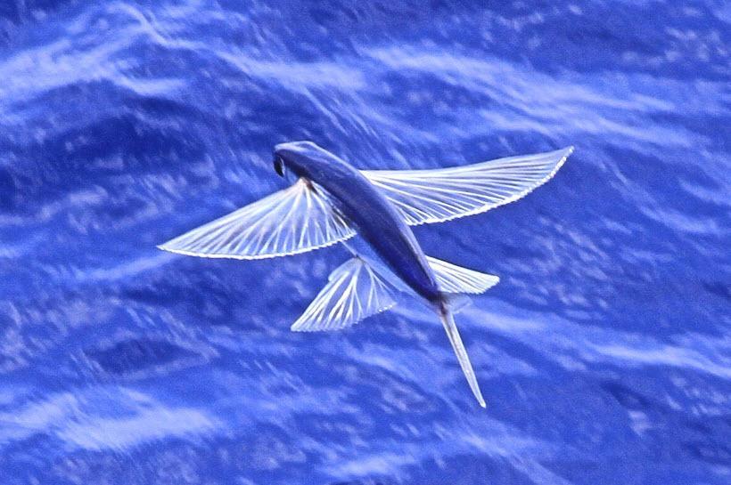 flying fish by cacodaemonia - photo #36