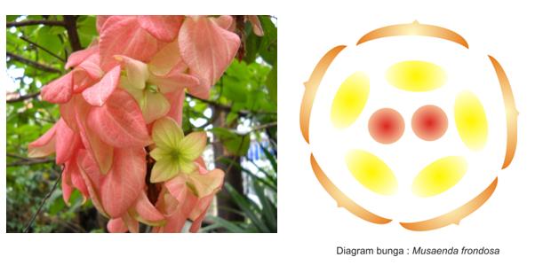 Diagram bunga mussaenda frondosa wawan listyawan bunga mussaenda frondosa merupakan bunga yang tidak lengkap karena tidak memiliki kelopak bunga memiliki daun pemikat untuk menarik serangga yang warnanya ccuart Image collections
