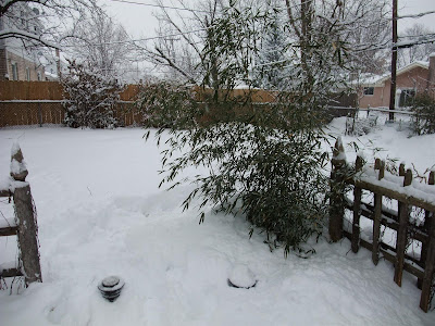 snow bamboo, insulate roots, rhyzomes, hardy bamboo