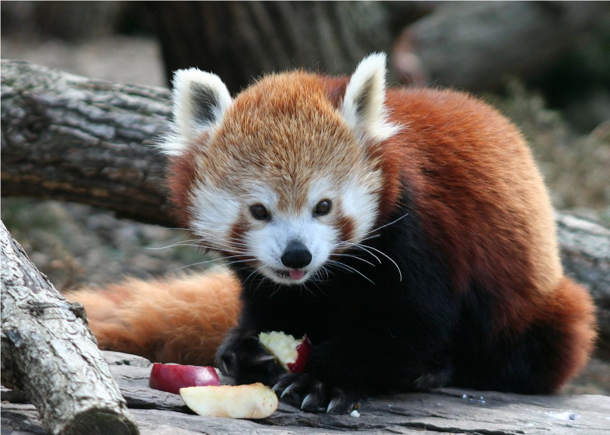 21. Red panda at lunch