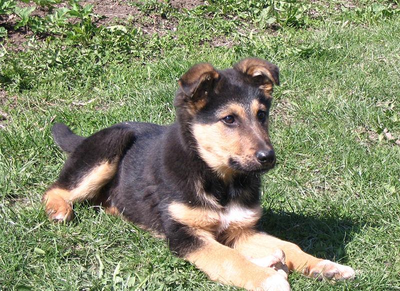 Dogs Info: German Shepherd Puppy 2013