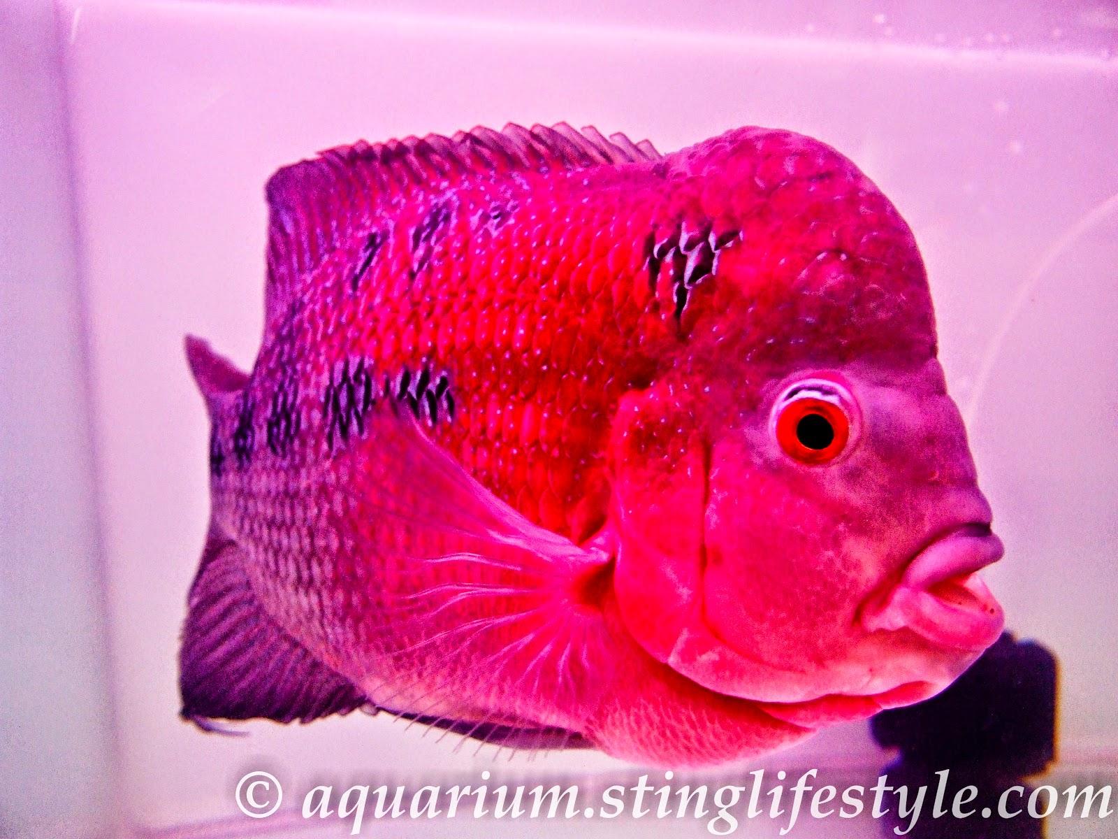Flower Horn Vastu Fish