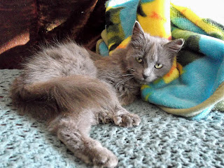 homeless grey kitten on sofa