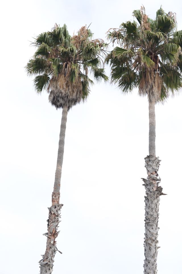 California palm trees, M Loves M