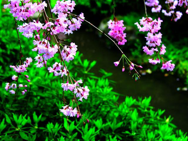 Nổi bật anh dep hoa dao giữa sắc xuân