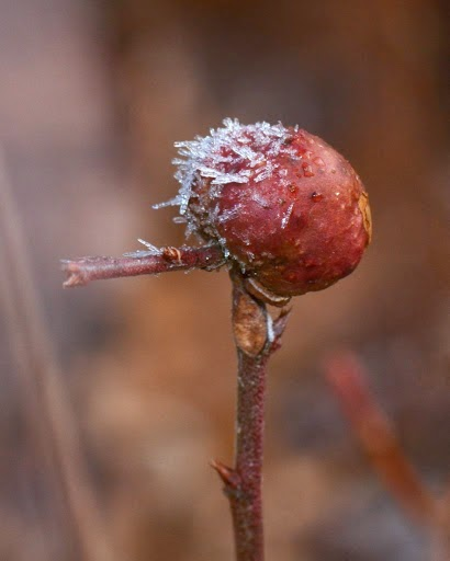 Blueberry Stem Gall