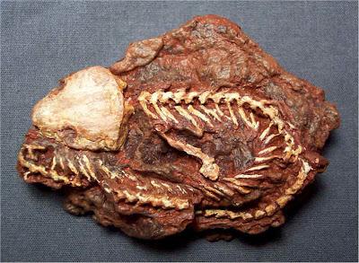placa fosil de Cardiocephalus