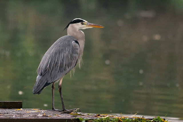 Grey Heron on platform