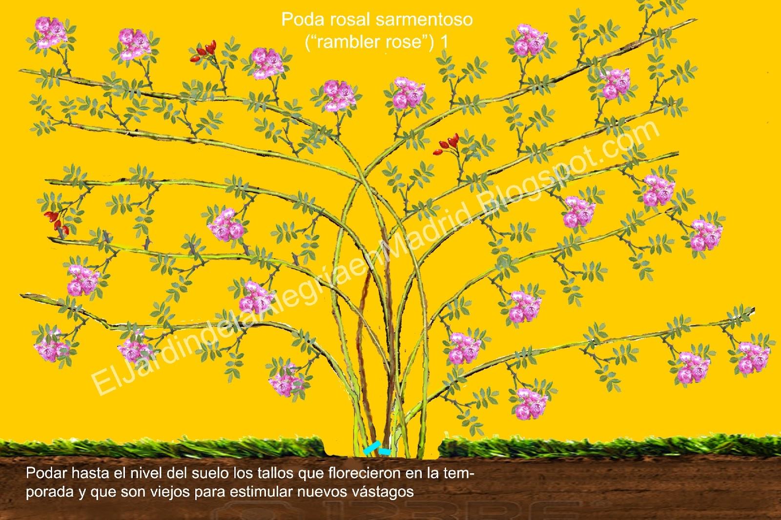 El Jardín De La Alegría Cómo Se Podan Los Rosales Rambler