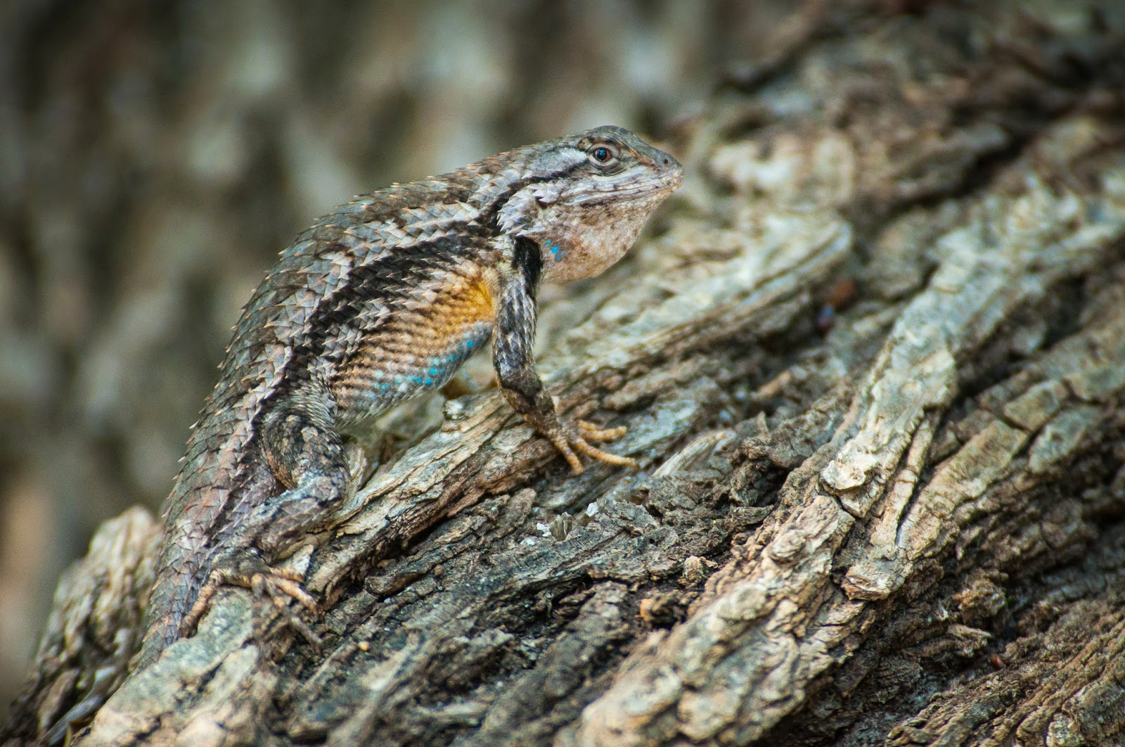 Texas Spiny Lizard, Colleyville Nature Center