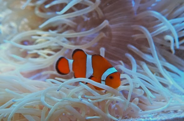 Clownfish information anemones care feeding and breeding all aquarium info where to buy - Anemone species caring color refinement ...