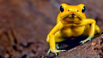 Conheça o animal vertebrado mais venenoso do mundo