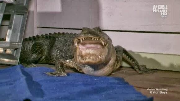 Gator Boys Season 4, Episode 9 – Monster Croc Rescue