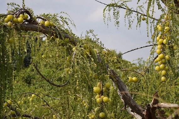 ผลการค้นหารูปภาพสำหรับ ต้นมะขามป้อม