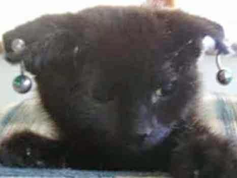 Kedilere Piercing Takan Adamın Tutuklanması