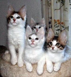 Gambar Kucing Anggora Lucu dan Imut 10008