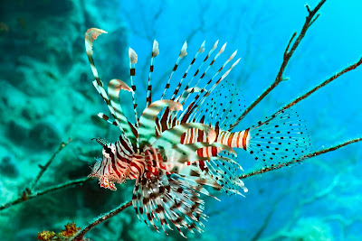 Pez Leon o tambin conocido como Lion Fish
