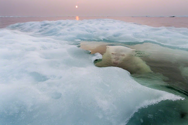 Retratos extremadamente íntimas de osos polares nadando