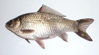 Prussian Carp - Wild Goldfish