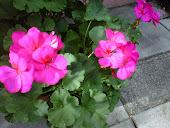 Oshawa Basic Gardening and Lawn Care in Oshawa 905-436-2328