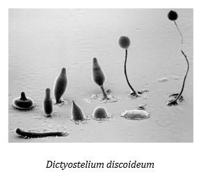 Ciri – Ciri Spesifikasi Acrasiomycetes Dan Labyrinthulomycetes