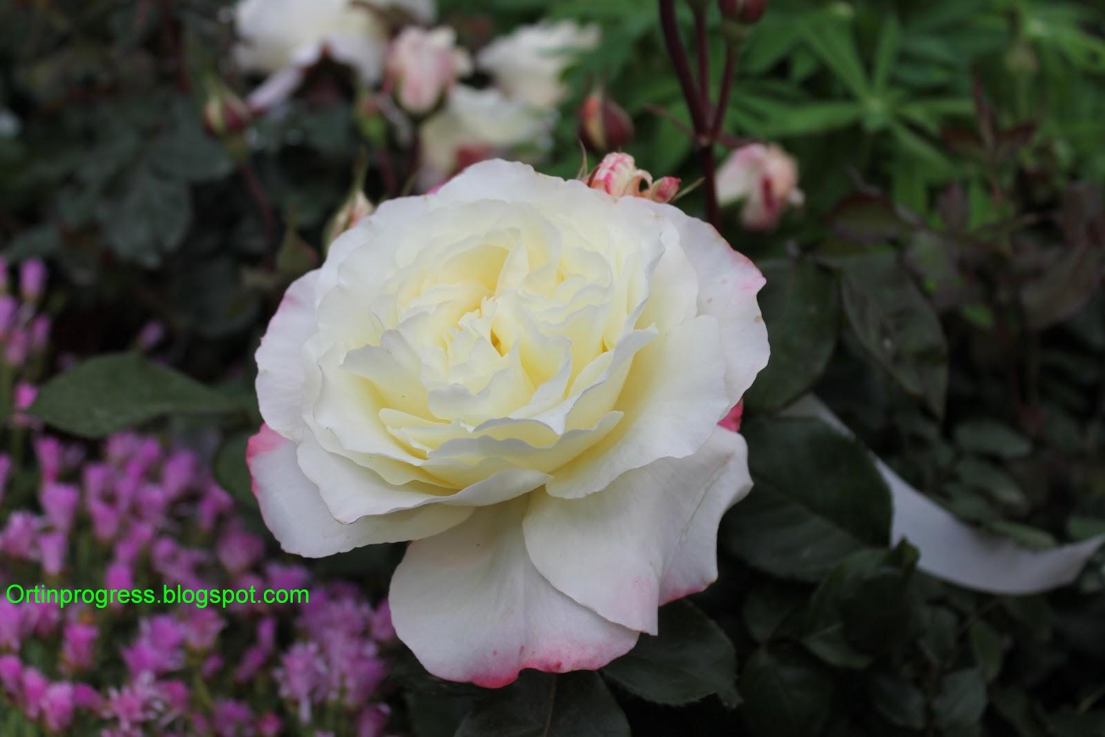 Malattia delle rose finest with malattia delle rose for Malattie delle rose