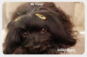 Vår lille Chanel på 14 år (bichon havanais)