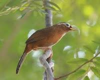 Burung Jenis hwamei ini Dahulu di China sebagai burung aduan secara fisik