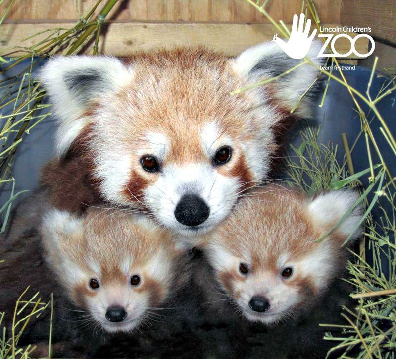 Cute Red Panda Twins