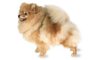 Gambar Anjing Pomeranian