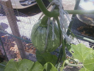 My Edible Yard Urban Homestead - calabaza squash from Janis Keller