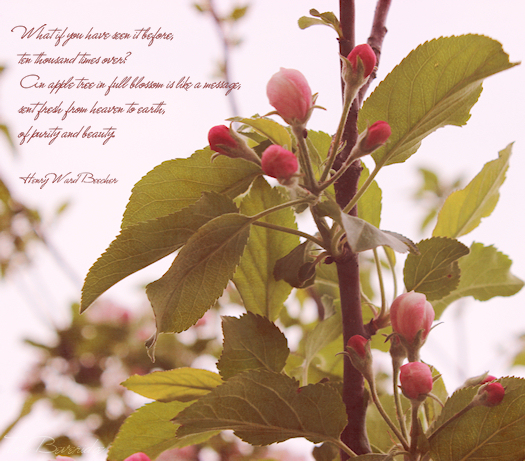 Apple Blossom Motivational Quote Photo Art by Tori Beveridge 2013