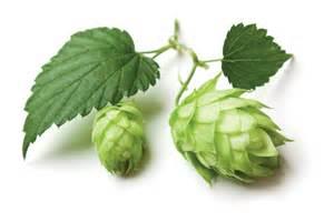 ビールの苦味の原料になるホップの 「毬花」