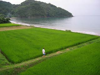 Une rizière en bord de mer