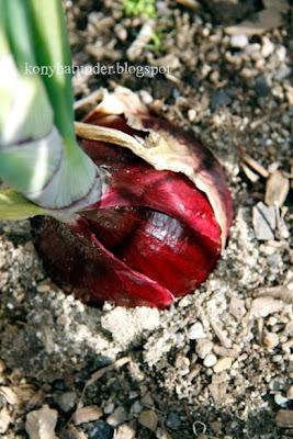 august-in-the-garden-purple-onion