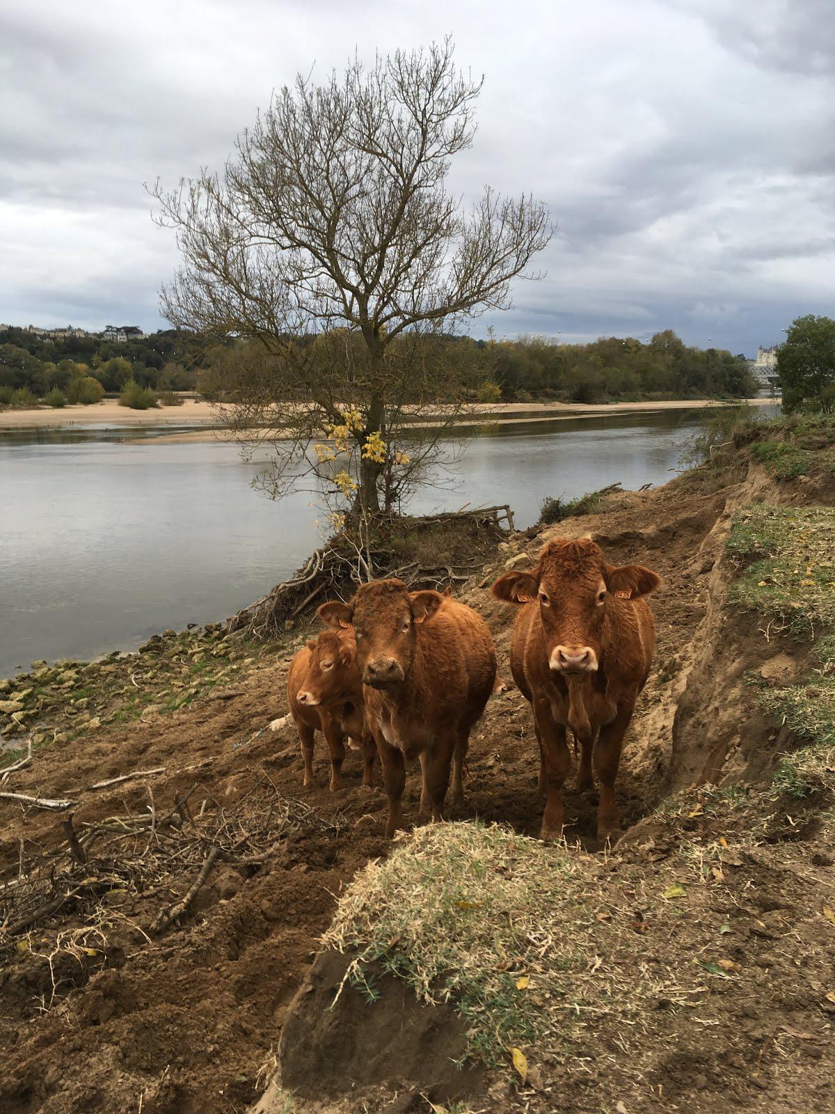 Regarder passer les vaches