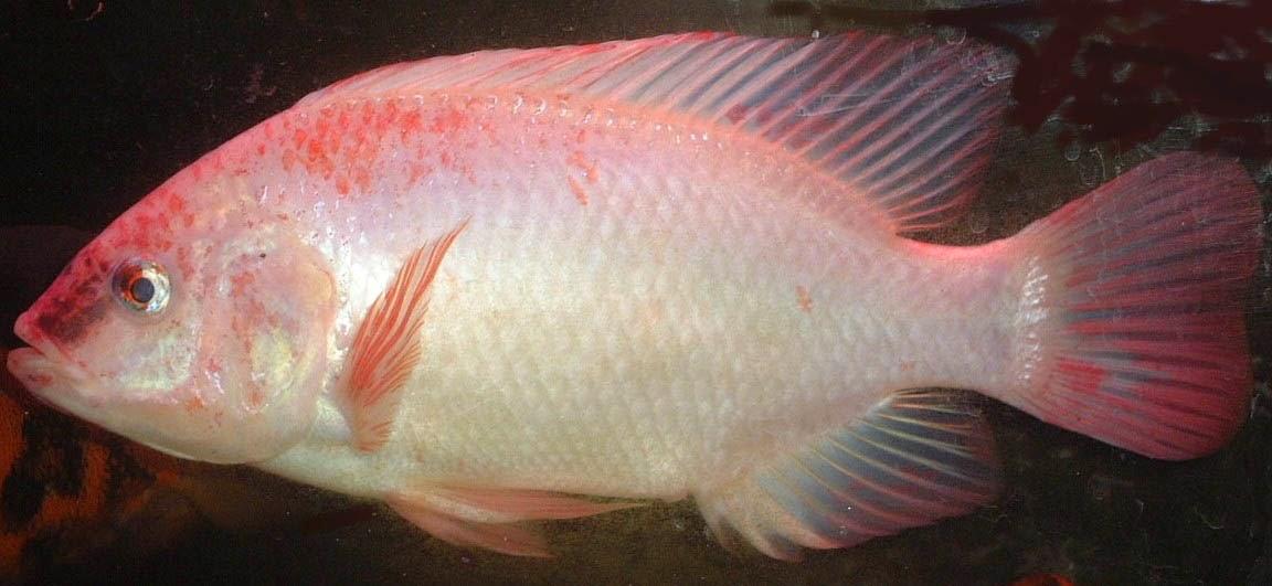 Jenis - Jenis Ikan Nila Unggulan