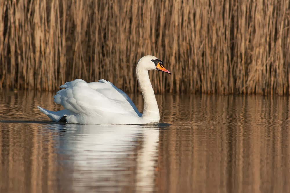 Regal sunlit mute swan