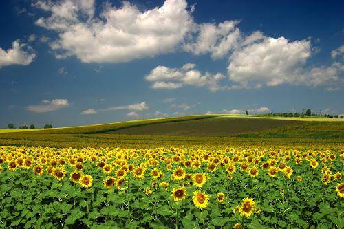 Hamparan Bunga Matahari di bawah awan