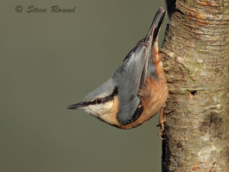 bird, nuthatch, nature, wildlife
