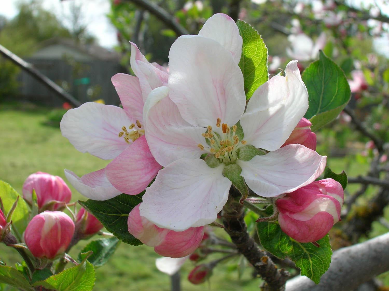 Inkspired Musings Apple Blossom Promises