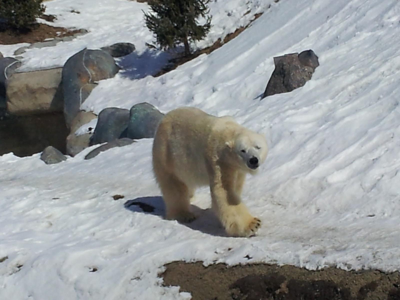 Toronto Zoo polar bear, winter