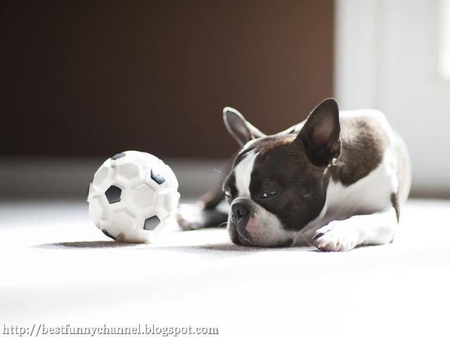 Dog football.