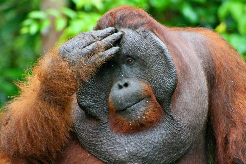 [Image: orangutan%2Bflange%2Bflanged%2Bmale%2B3.jpg]
