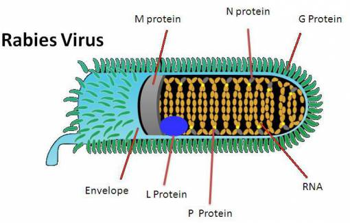 characteristics of rabies a viral diease The rabies virus ron ramirez - 2013 study  characteristics of rabies virus  in heavy infection, virus travels down facial nerves and deposits in salivary .