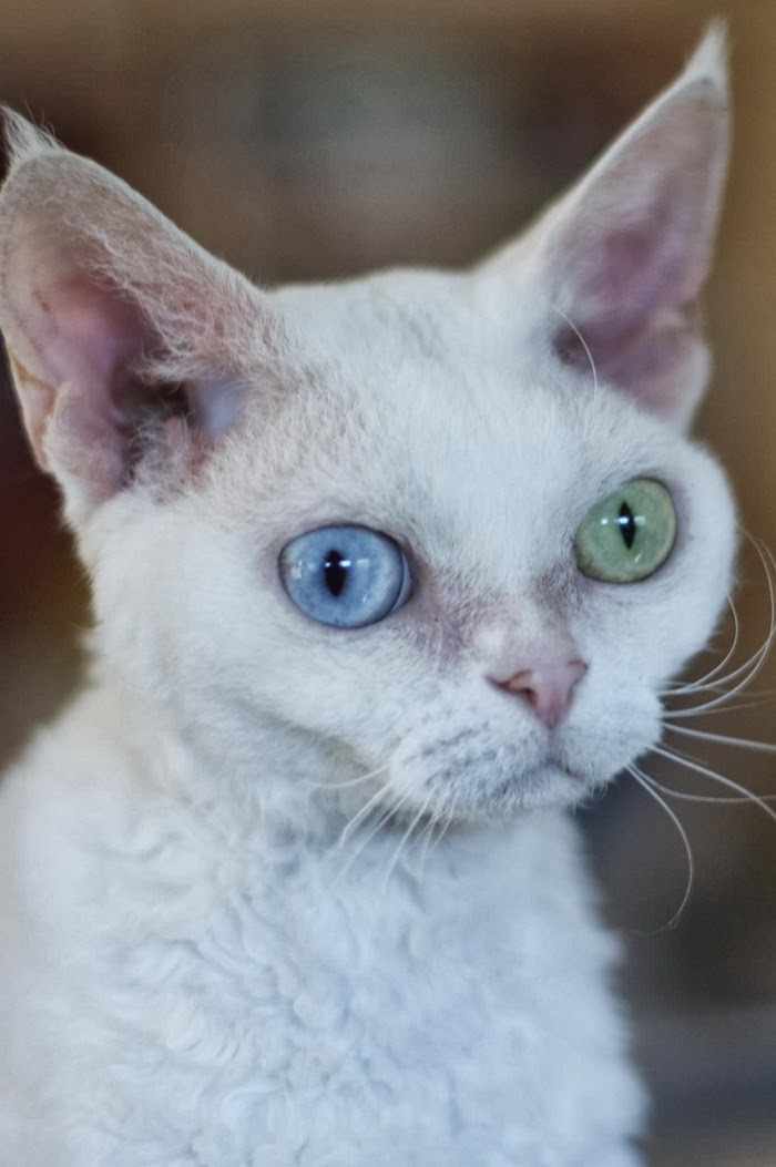 Are Devon Rex Hypoallergenic?